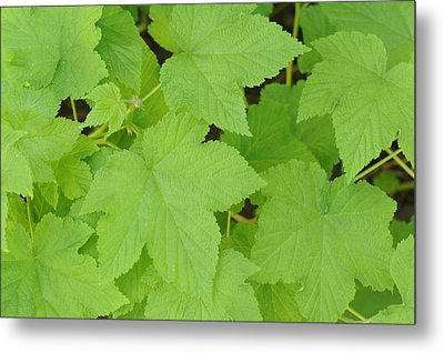 Leaves  Metal Print by Harold E McCray