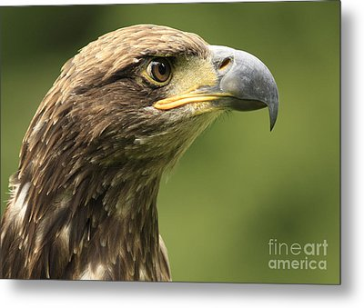 Legendary Juvenile Bald Eagle  Metal Print by Inspired Nature Photography Fine Art Photography