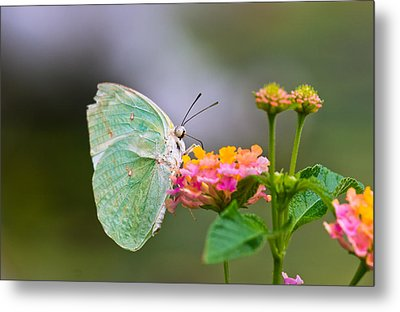 Lemon Emigrant Butterfly Metal Print by Scott Carruthers