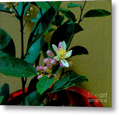 Lemon Tree Flower Metal Print by Al Bourassa