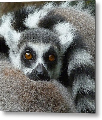Lemur Leisure Time Metal Print