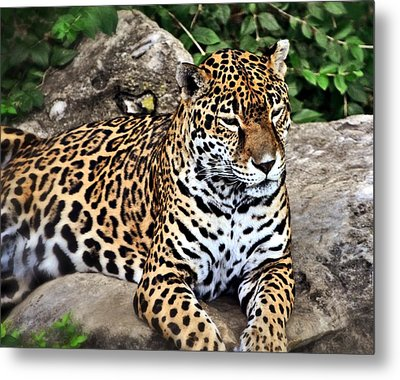 Leopard At Rest Metal Print by Marty Koch