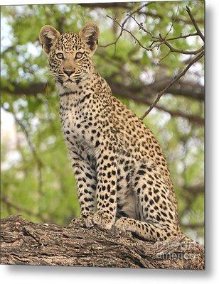 Leopard Cub Gaze Metal Print