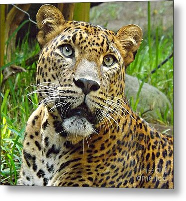 Leopard Face Metal Print by Clare Bevan