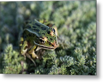 Leopard Frog In Wooly Thyme Metal Print