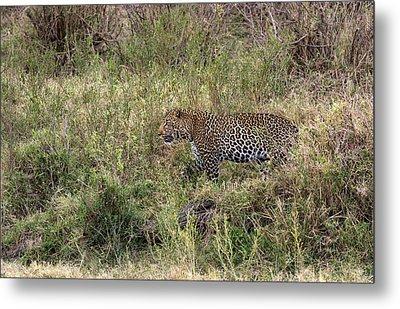 Leopard In The Grass Metal Print