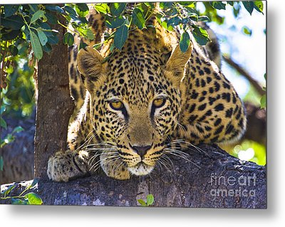 Leopard In Tree Metal Print