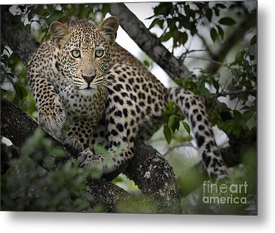 Metal Print featuring the photograph Leopard In Tree by Michael Edwards