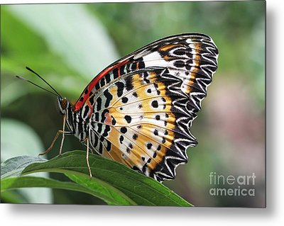 Leopard Lacewing Butterfly Metal Print by Judy Whitton