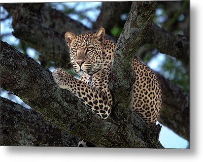 Leopard Male In A Tree In The Serengeti Metal Print by Maggy Meyer