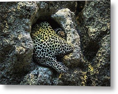 Leopard Moray Eel  Metal Print