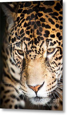 Leopard Resting Metal Print by John Wadleigh