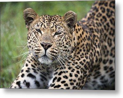 Leopard Stretching Sabi-sands Game Metal Print by Sergey Gorshkov