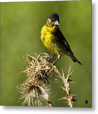 Lesser Goldfinch Milkweed Thistle Metal Print by James Ahn