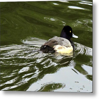 Metal Print featuring the photograph Lesser Scaup by Suzy Piatt