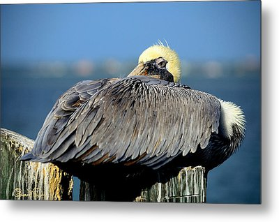 Let Sleeping Pelicans Lie Metal Print