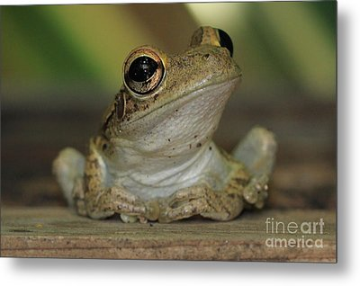 Let's Talk - Cuban Treefrog Metal Print