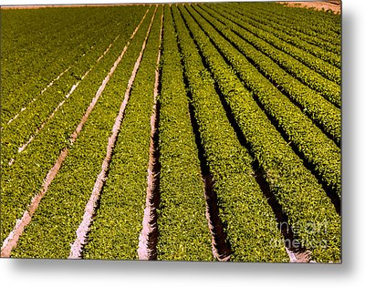 Lettuce Farming Metal Print by Robert Bales