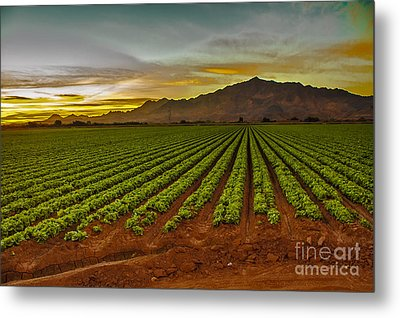 Lettuce Sunrise Metal Print by Robert Bales
