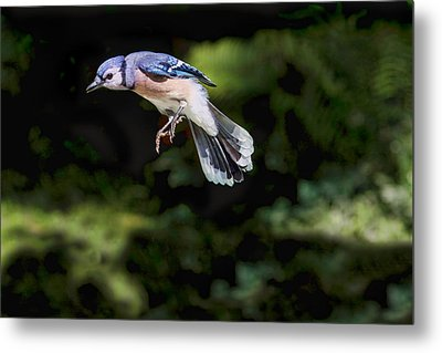 Levitating Blue Jay Metal Print by Peggy Collins