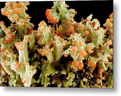 Lichen (cladonia Sp.) Metal Print by Us Geological Survey