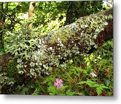 Lichen Growing On Branch Metal Print by Cordelia Molloy