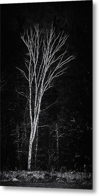Life's A Birch No.2 Metal Print by Mark Myhaver
