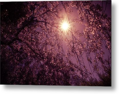 Light And Cherry Blossoms Metal Print by Vivienne Gucwa