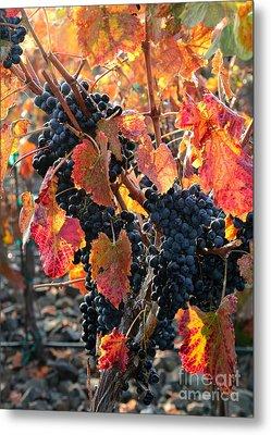 Light Through Fall Vineyard Metal Print by Carol Groenen