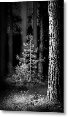 Lightpainting The Pine Forest New Growth Metal Print