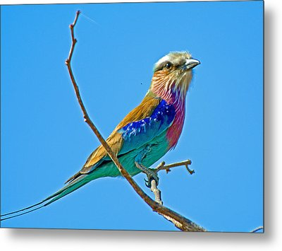 Lilac-breasted Roller In Kruger National Park-south Africa Metal Print by Ruth Hager