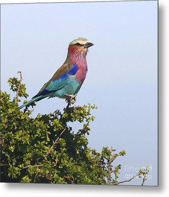 Lilac-breasted Roller Metal Print by Liz Leyden