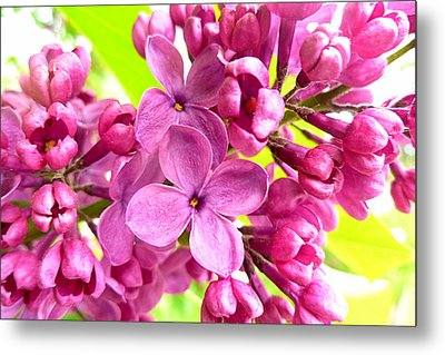 Lilac Closeup Metal Print by The Creative Minds Art and Photography