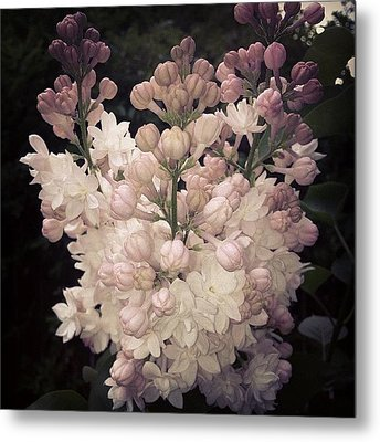 Lilacs Are Blooming Metal Print by Christy Beckwith