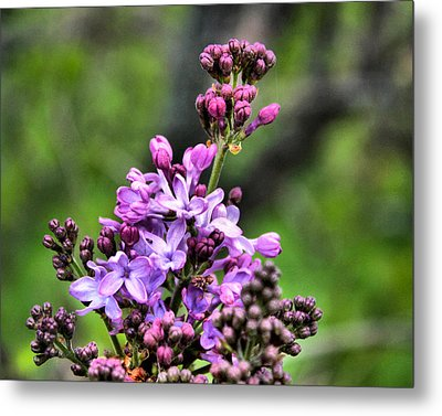 Lilacs Metal Print by Tim Buisman