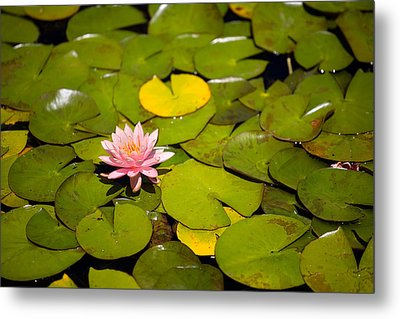 Lilly Pond Pink Metal Print