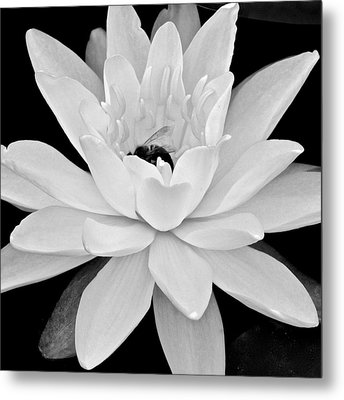 Lilly White Metal Print by Frozen in Time Fine Art Photography