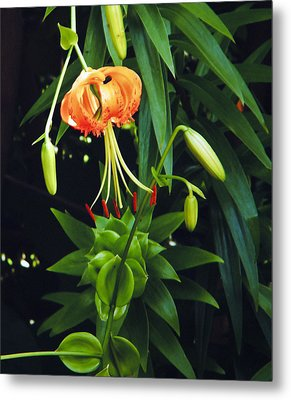 Metal Print featuring the photograph Lily Bloom by Debra Crank