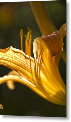 Lily In The Yard Metal Print by Daniel Sheldon
