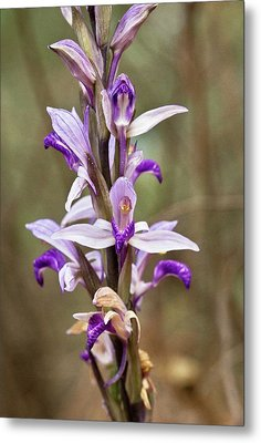 Limodore Orchid (limodorum Abortivum) Metal Print