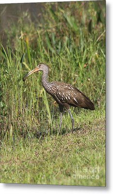 Limpkin With Apple Snail Metal Print by Christiane Schulze Art And Photography