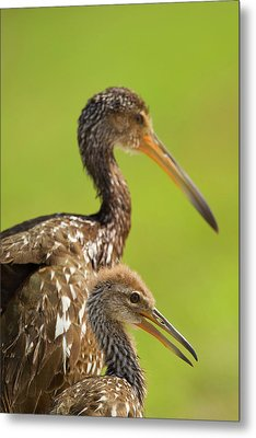 Limpkin With Chick, Aramus Guarana Metal Print