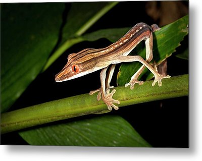 Lined Flat-tail Gecko Metal Print by Alex Hyde
