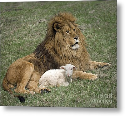 Lion And Lamb Metal Print by Wildlife Fine Art