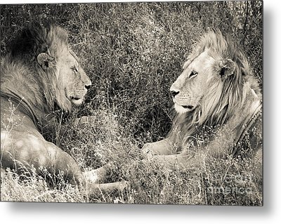 Lion Brothers Metal Print