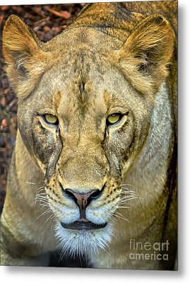 Lion Closeup Metal Print by David Millenheft
