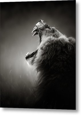 Lion Displaying Dangerous Teeth Metal Print by Johan Swanepoel