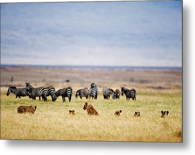 Lion Family Panthera Leo Looking Metal Print by Panoramic Images