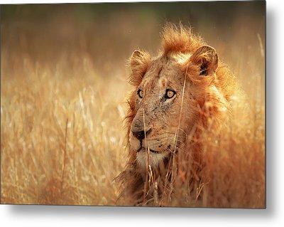 Lion In Grass Metal Print