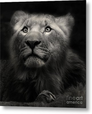 Lion In The Dark Metal Print